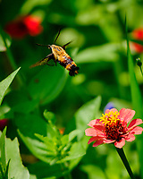 Snowberry Clearwing moth on a Zinnia flowers. Image taken with a Fuji X-H1 camera and 80 mm f/2.8 macro lens + 1.4x teleconverter