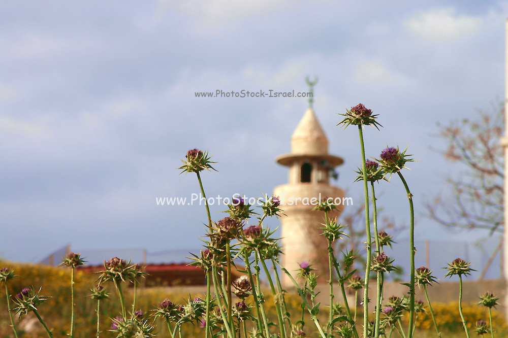 A mosque in Ajami, Jaffa, Israel. The mosque minaret is out of focus while the thistles in the foreground are in focus