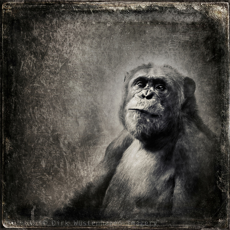 Bonobo monkey looking absent minded into the camara - b&w photograph