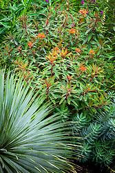 Yucca rostrata with Euphorbia griffithii 'Dixter' AGM and Euphorbia rigida AGM