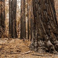 Big Basin State Park - CZU Fire