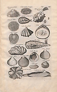 Sea shell Illustrations from 'Historiae Naturalis De Exanguibus Aquaticis  libri IV' (Natural History of Sea animals book 4) by Johannes Jonston. Published 1665.
