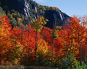 Autumn colors of Sugar Maples, Acer saccharum, growing below granite cliff near King Mountain north of Sault Ste. Marie, Ontario, Canada.