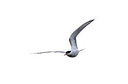 17-05-2005 NATUUR: BIRDWATCHING IN NEDERLAND HET HELE JAAR 2005: OPBUUREN: MAARSSEN<br /> <br /> <br /> <br /> ©2005-WWW.FOTOHOOGENDOORN