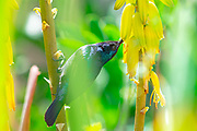 Male Palestine Sunbird or Northern Orange-tufted Sunbird (Cinnyris oseus) feeding on nectar