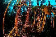 Kelp forest mostly Laminaria hyperborea, but the smaller brown algae on the right is Oarweed (Laminaria digitata), Atlantic Ocean, Strømsholmen, North West Norway | Ein Kelpwald oder Algenwald, der hauptsächlich aus Palmentang (Laminaria hyperborea), links im Bild, und Fingertang (Laminaria digitata), rechts im Bild, besteht. Atlantischer Ozean, Strømsholmen, Nordwestküste von Norwegen