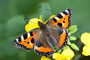 Small Tortoiseshell Butterfly, Aglais urticae, Kent, UK, wings open, resting on yellow flower, colourful