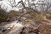 Palo Santo tree (Bursera graveolens) on Genovesa Island, Galapagos Archipelago - Ecuador. The palo santo is related to frankincense, and the sap contains an aromatic resin. Palo Santo loose their leaves during the dry season to help stop water loss.
