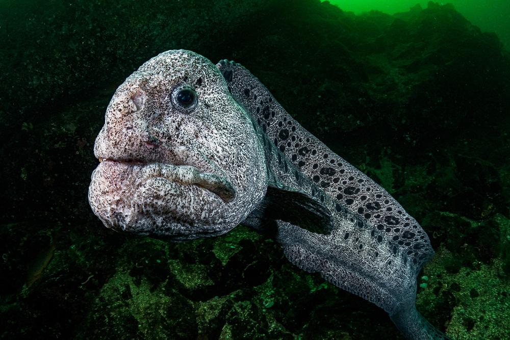 Male Wolf-eel (Anarrhichthys ocellatus) near his den in Nanoose Bay, Vancouver Island, British Columbia, Canada.