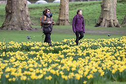 © Licensed to London News Pictures. 28/02/2017. London, UK. Two women walk among blooming yellow daffodils in St James's Park London, an early sign of Spring. Photo credit: Rob Pinney/LNP