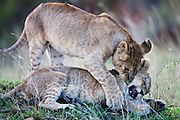 Lion cubs playing in the morning ; the African lion ( Leo Panthera ) lives in prides consisting of two to twelve related females and their young, and dominant males, Masai Mara, Kenya