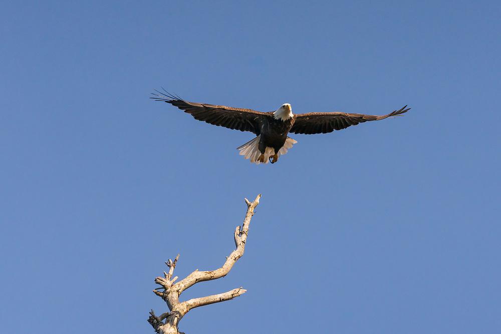 https://Duncan.co/bald-eagle-taking-flight