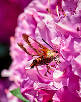 Snowberry Clearwing moth feeding on a Rhododendron Flower. Image taken with a Nikon D800 camera and 105 mm f/2.8 macro lens (ISO 320, 105 mm, f/8, 1/500 sec).