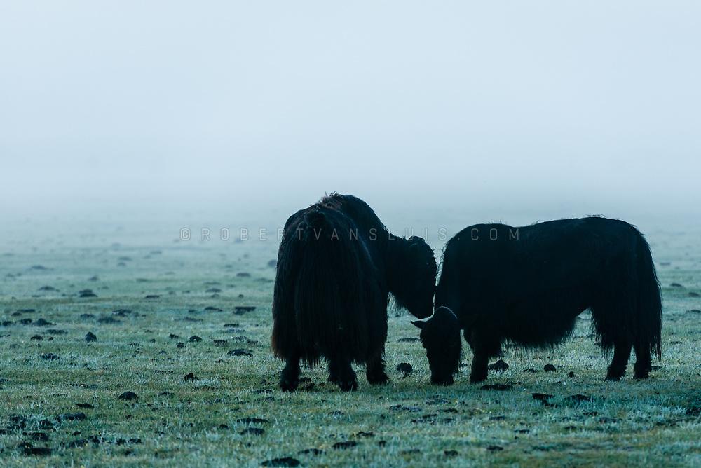 Yaks in the morning mist in Khövsgol Province, Mongolia. Photo © Robert van Sluis - www.robertvansluis.com