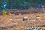 A grizzly bear bull forages in a blueberry patch during autumn in Denali National Park, McKinley Park, Alaska.