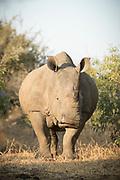 Close-up of White Rhino (Ceratotherium simum) in savannah, Mkhaya Game Reserve, Eswatini