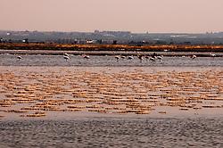 Il complesso produttivo delle saline è situato nel comune italiano di Margherita di Savoia (nome dato dagli abitanti in onore alla regina d'Italia che molto si adoperò nei confronti dei salinieri) nella provincia di Barletta-Andria-Trani in Puglia. Sono le più grandi d'Europa e le seconde nel mondo, in grado di produrre circa la metà del sale marino nazionale (500.000 di tonnellate annue).All'interno dei suoi bacini si sono insediate popolazioni di uccelli migratori e non, divenuti stanziali quali il fenicottero rosa, airone cenerino, garzetta, avocetta, cavaliere d'Italia, chiurlo, chiurlotello, fischione, volpoca..Panoramica di un grande bacino con presenza sul fondo di  un gruppo di fenicotteri rosa.