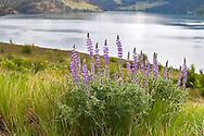 Lupines flowering at Kekuli Bay Provincial Park on Kalamalka Lake near Vernon, British Columbia, Canada