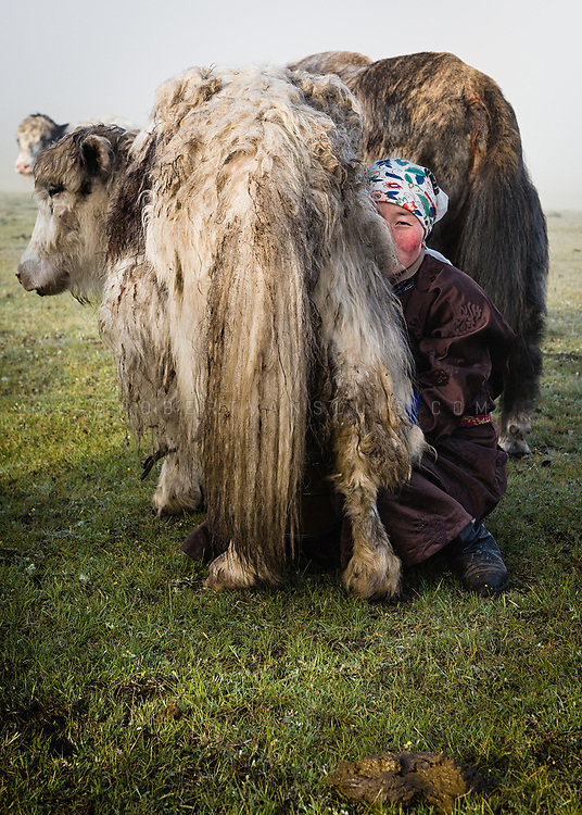 Nomad girl leaning in to milk a yak in the morning in Khovsgol province, Mongolia. Photo © Robert van Sluis