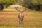 Red deer stag during rut in Bushy Park. London, UK.