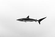 México, Baja California, Revillagigedo Islands. A silkie shark swimming at mid water.