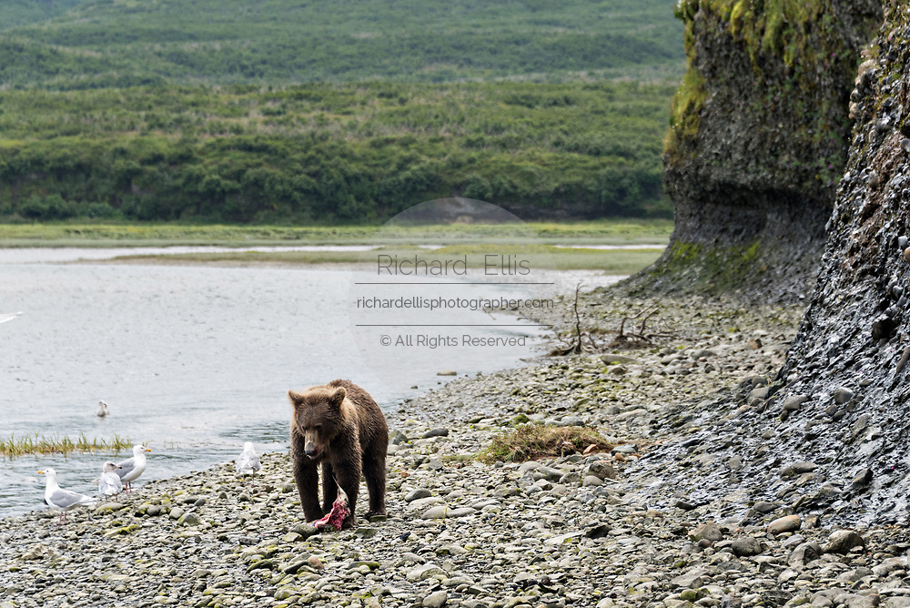 A brown bear sub-adult feasts on a fresh salmon in the lower lagoon at the McNeil River State Game Sanctuary on the Kenai Peninsula, Alaska. The remote site is accessed only with a special permit and is the world's largest seasonal population of brown bears in their natural environment.