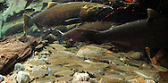 Coho Salmon (with Smolts)<br /> <br /> Paul Vecsei/Engbretson Underwater Photography