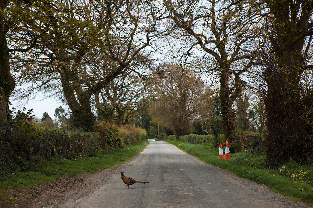 A cock pheasant crosses a road, Easter Sunday, Wexford.