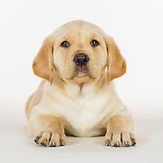 20160214 Lab Puppies