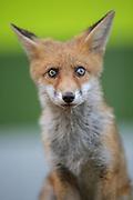 Super cute urban fox cub with glistening eyes.