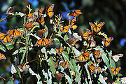 Monarch's overwintering in Santa Cruz eucalyptus tree groves. The upper side of the wings is tawny-orange,  The underside is similar yellow-brown instead of tawny-orange and the white spots are larger