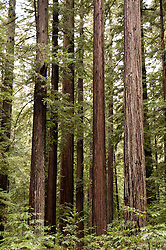 Redwood trees in forest at Bull Creek, Humboldt Redwoods State Park.  Photo copyright Lee Foster california112455.