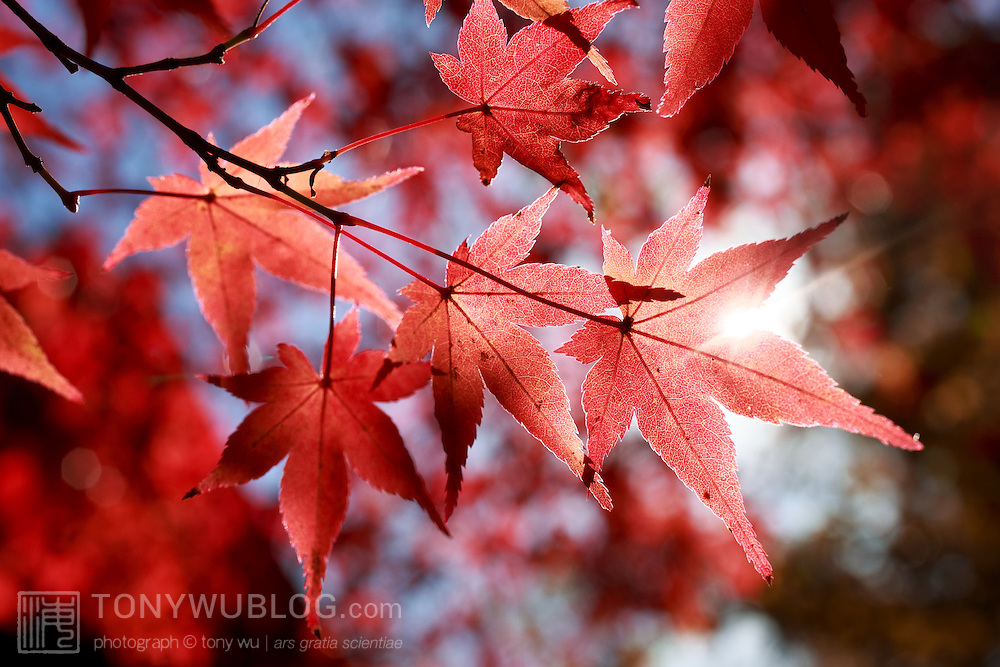 Red momiji Japanese maple leaves against the morning sun on a beautiful autumn day at Kita no Tenman-gu in Kyoto, Japan.