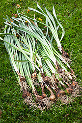 Daffodils that have been lifted and divided after they have finished flowering