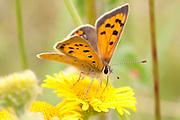 A Small Copper butterfly feeds on Fleabane
