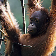 Orangutan, (Pongo pygmaeus) Juvenile hanging from vines in jungle of Northern Borneo, Malaysia. Controlled Conditons.