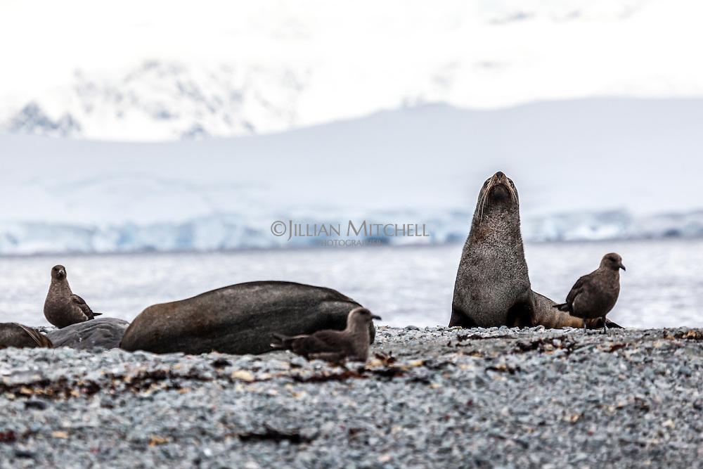 Antarctic Fur Seals & Skuas at Orne Harbour, Antarctica.