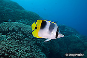 Pacific double-saddle butterflyfish, Chaetodon ulietensis, at Ice Cream bommie, Saipan, Commonwealth of Northern Mariana Islands, Micronesia ( Western Pacific Ocean )