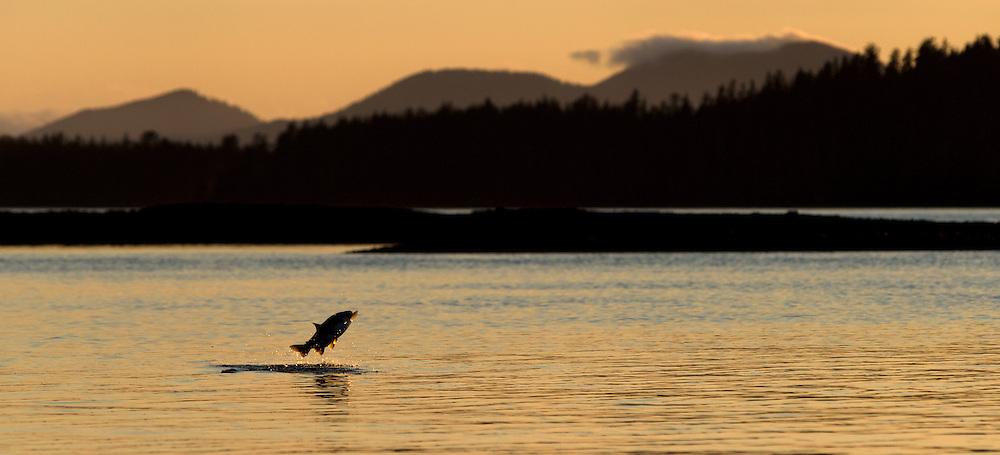 Salmon jumping at sunset, Starrigavan Bay, Alaska.