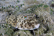 checkered puffer, Sphoeroides testudineus, Sandy Point, Great Abaco, Abaco Islands, Bahamas ( Western Atlantic Ocean )