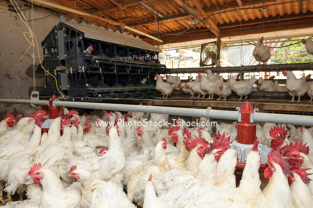 Poultry breeding farm. Hens and Roosters in a coop. Photographed in Israel