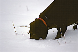 Black Lab In Snow
