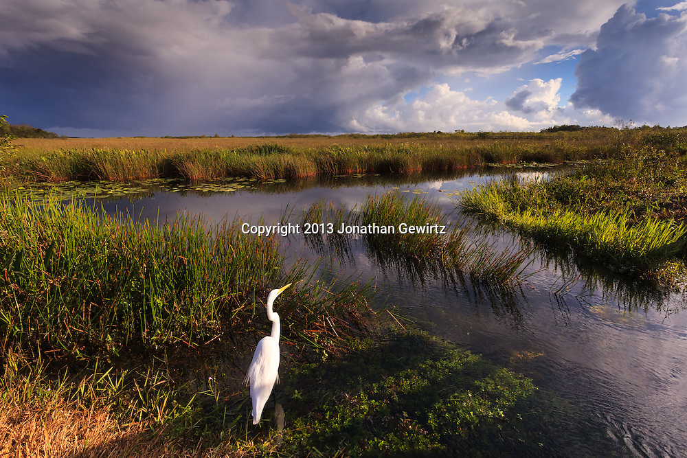 On a stormy day, a Great Egret (Ardea alba) hunts on the canal edge on the Anhinga Trail in Everglades National Park, Florida. WATERMARKS WILL NOT APPEAR ON PRINTS OR LICENSED IMAGES.<br /> <br /> Licensing: https://tandemstock.com/assets/87930851