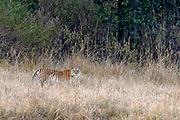 """The Bengal tiger (Panthera tigris tigris) known as T-32 """"Umarjhola"""" (""""Broken Tail"""") in Kanha National Park, Madhya Pradesh, india."""