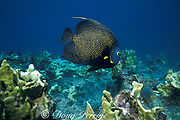 French angelfish, Pomacanthus paru, and fire coral, Western Dry Rocks, Key West, Florida Keys ( Western Atlantic Ocean ) Florida Keys National Marine Sanctuary