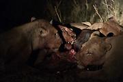 Lions, Panthera leo, feeding on a wildebeest at night.