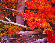 Autumn splendor of Mountain Ash, Sorbus americana, and silver maple, Acer saccharinum, shore of Lake Superior east of Betsy, Keweenaw Peninsula, Upper Peninsula of Michigan.