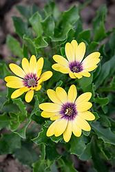 Osteospermum 'Serenity Blue Eye Beauty' - African daisy