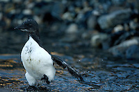 Black guillemot / Cepphus grylle<br /> Alkehornet<br /> Svalbard<br /> Norway