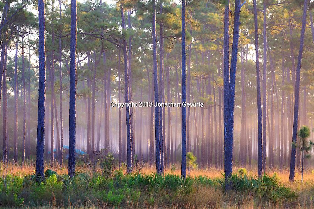 Morning fog in slash pines on Long Pine Key pond in Everglades National Park, Florida. WATERMARKS WILL NOT APPEAR ON PRINTS OR LICENSED IMAGES.<br /> <br /> Licensing: https://tandemstock.com/assets/81388103